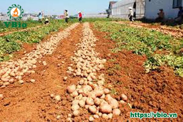 công nghệ nhân giống khoai tây bằng nuôi cấy mô