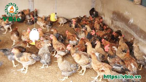 3 cách làm đệm lót sinh học nuôi gà