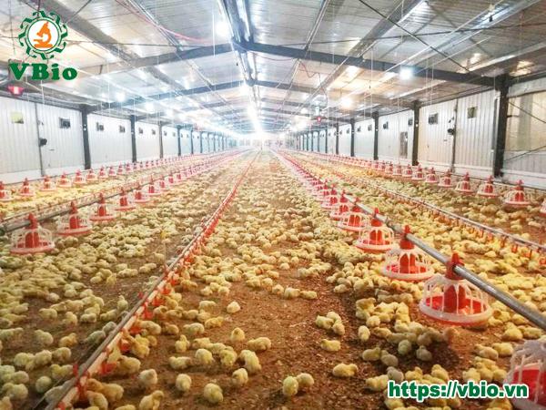 Cách làm đệm lót sinh học nuôi gà