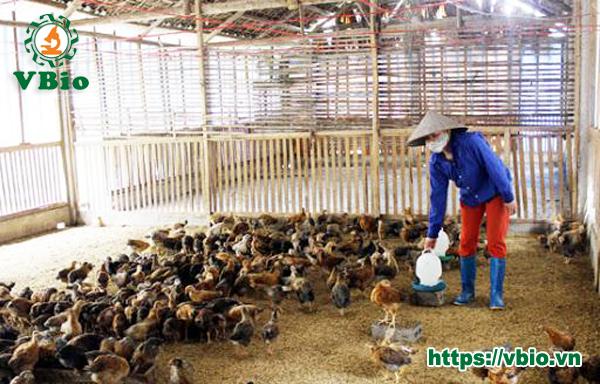 Cách làm đệm lót sinh học trong chăn nuôi gà quy mô 30 đến 50m