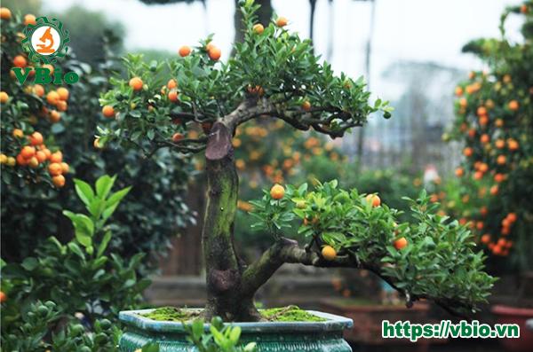 quất cảnh bonsai chơi tết