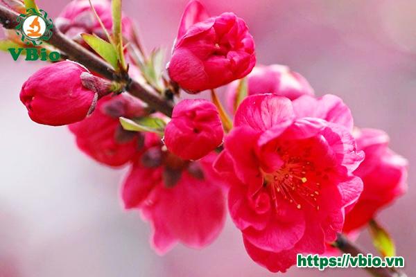 Ý nghĩa hoa đào ngày Tết